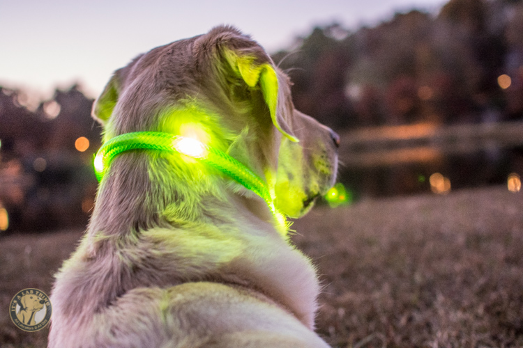Glowdoggie LED waterproof Collars for Labradors and Dogs-61