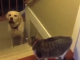 Labrador_dogs_funny_video_passing_cats_it's_a_lab_thing