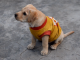 Cute_Labrador_Puppy_Basic_Training_Release_Command