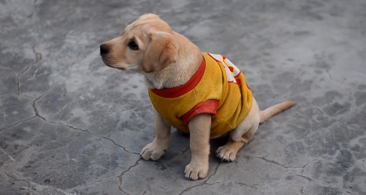 LABtv Video: Cutest Labrador Puppy is Quite the A+ Student