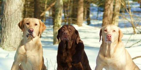 It's a Lab Thing Winter Snow Labradors