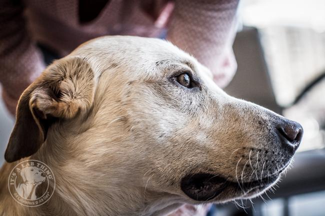 Labrador Friends of the South Rescue Adoption Day Ranger (3)