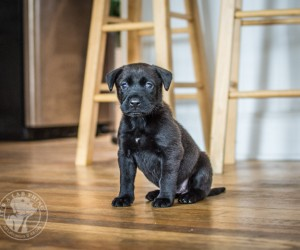 LoLa: A Labrador Puppy Who will Rescue Your Heart