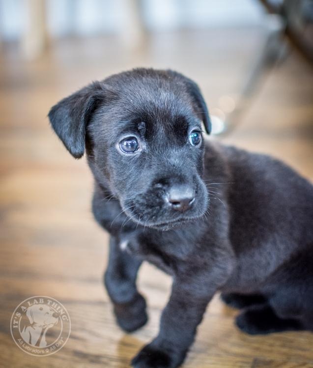 Labrador Puppies Labrador Friends of the South Lola-25