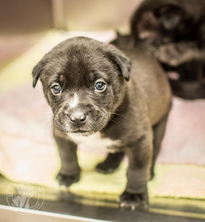 Labrador Puppies Labrador Friends of the South Rescue Adoptions 1-10-16