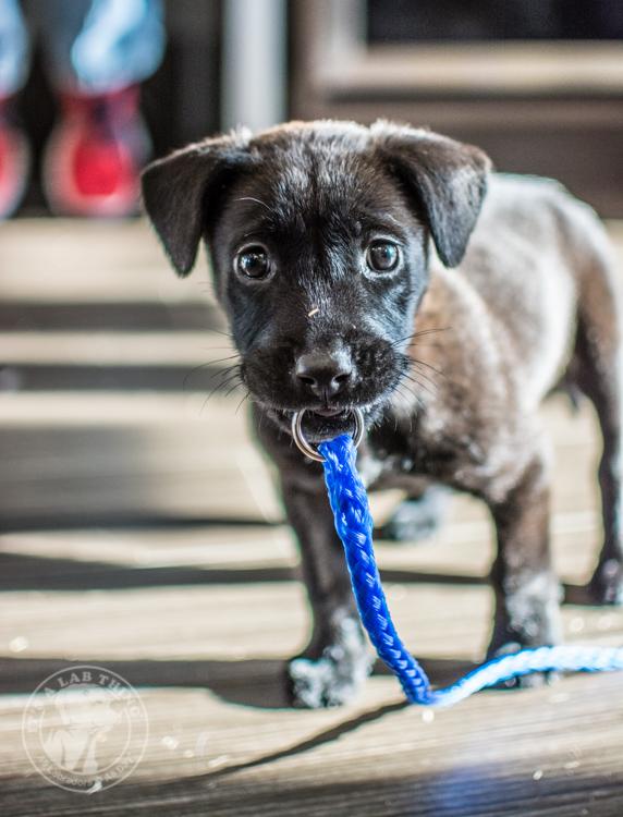 Labrador Puppies Labrador Friends of the South Rescue Adoptions 1-10-31