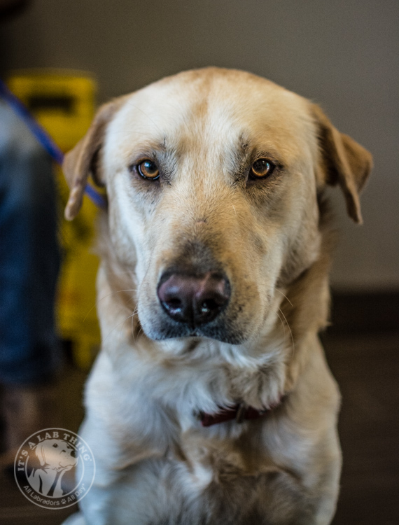 Labrador Puppies Labrador Friends of the South Rescue Adoptions 1-10-37