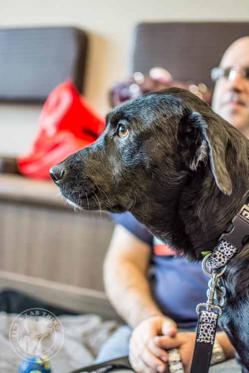 Labrador Puppies Labrador Friends of the South Rescue Adoptions 1-10-39