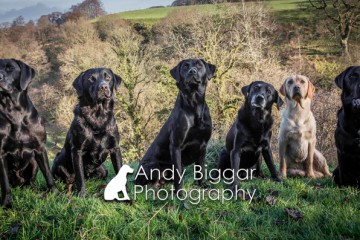 Dog-Photography-Labradors-Andy-Biggar-001