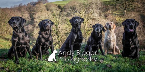 Dog-Photography-Labradors-Andy-Biggar-001