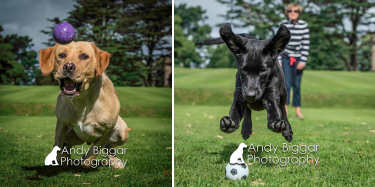 Dog-Photography-Labradors-Andy-Biggar-002