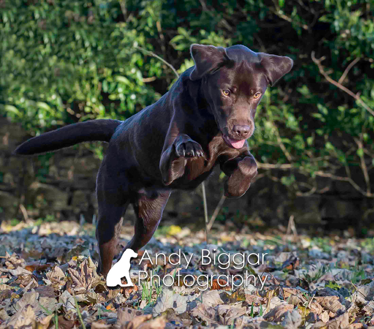Dog-Photography-Labradors-Andy-Biggar-003