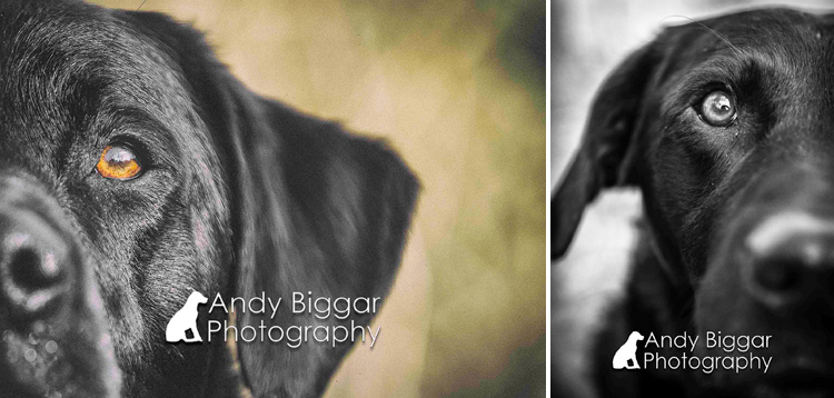 Dog-Photography-Labradors-Andy-Biggar-004