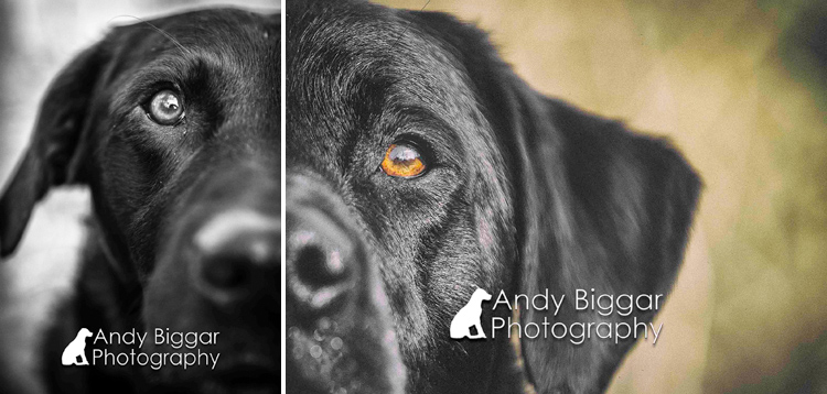 Dog-Photography-Labradors-Andy-Biggar-005