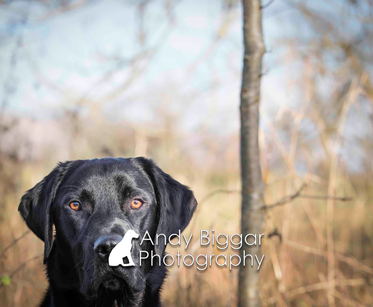 Dog-Photography-Labradors-Andy-Biggar-009