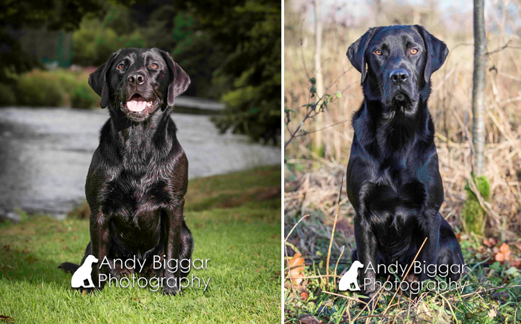Dog-Photography-Labradors-Andy-Biggar-010