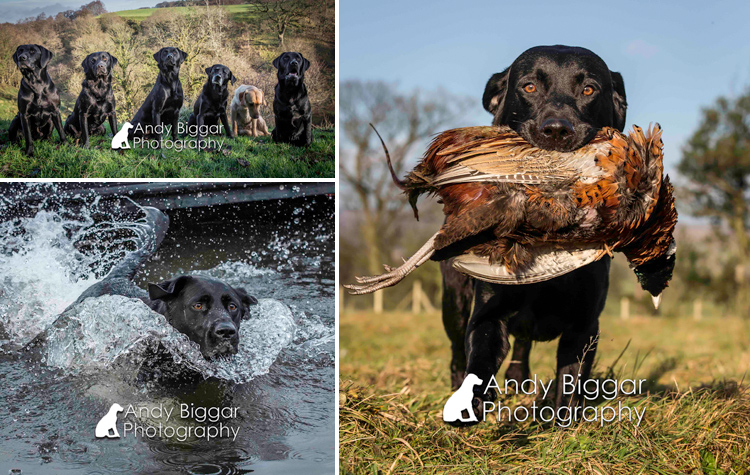 Dog-Photography-Labradors-Andy-Biggar-012