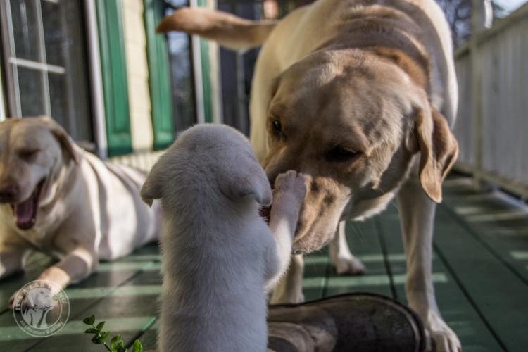 Labrador Rescue Jasper-11