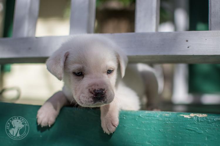 Labrador Rescue Jasper-29