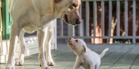 Labrador Rescue Jasper-4
