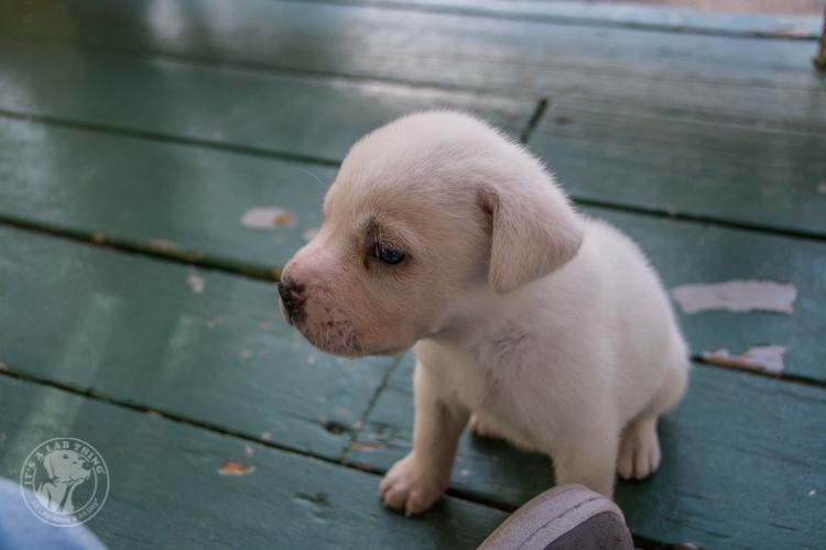 Labrador Rescue Jasper-8
