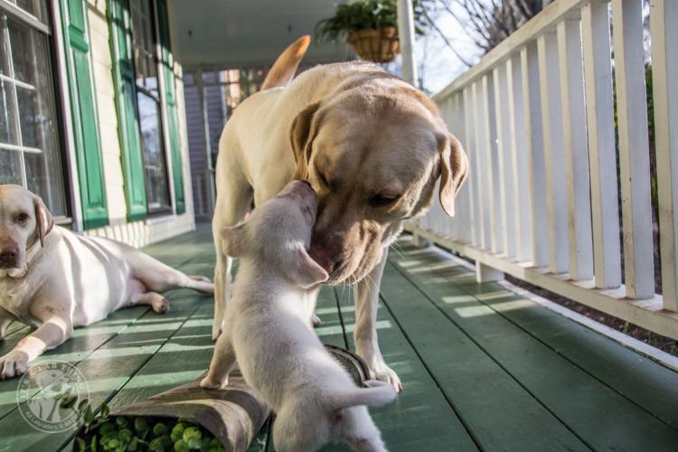 Labrador Rescue Jasper-9