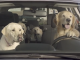 Subaru_dogs_the_Barkleys_video_at_the_rest_stop_labradors