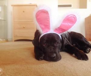 Easter Bunny Labradors