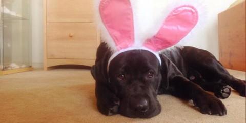 Easter-Labradors-bunny-ears-001