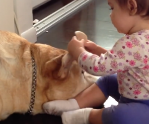 Baby Plays with Sleepy Labrador