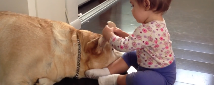Sweet_yellow_Labrador_gentle_with_babys