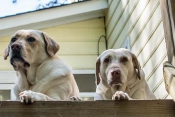 Yellow Dudley Labradors Brody Saban -19