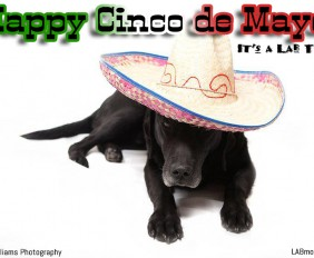 Its a Lab Thing Cinco de Mayo Labrador