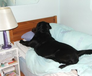 Bed Hogging Sheet Stealing Labradors