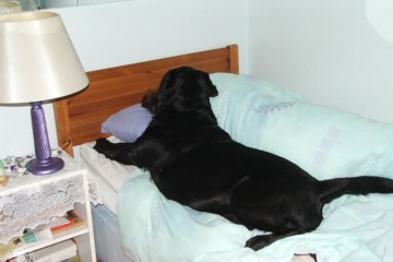 Bed Hogging Labradors It's a Lab Thing (1)
