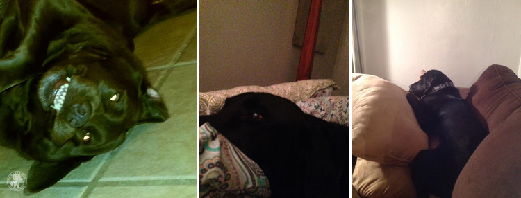 Bed Hogging Labradors It's a Lab Thing (10)