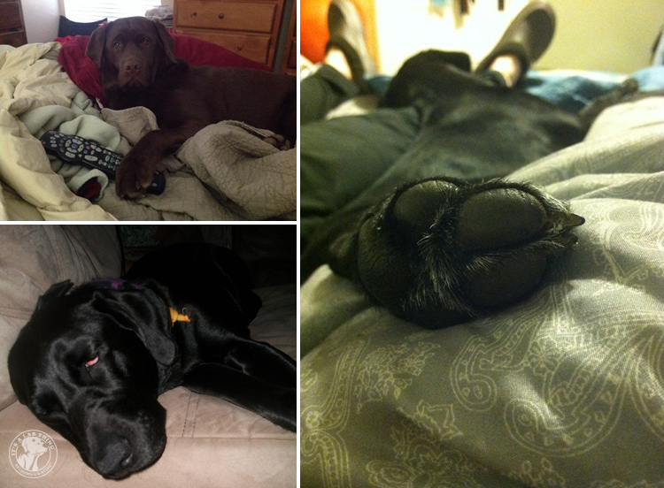Bed Hogging Labradors It's a Lab Thing (11)