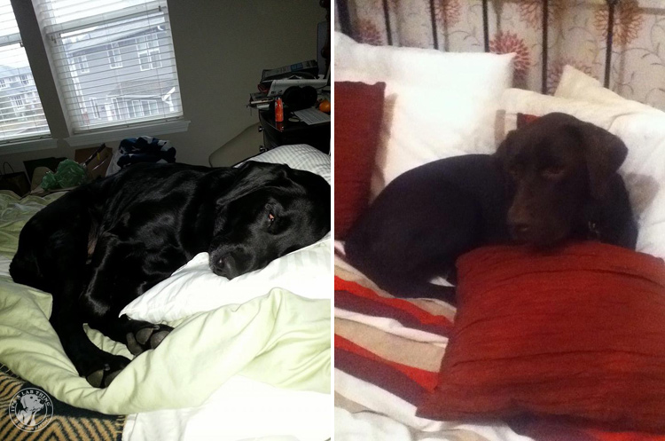 Bed Hogging Labradors It's a Lab Thing (9)