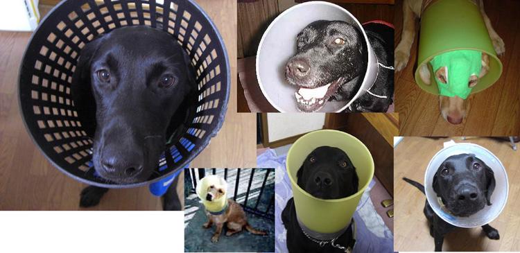 Cone of Shame Labrador Retrievers Cone heads (1)