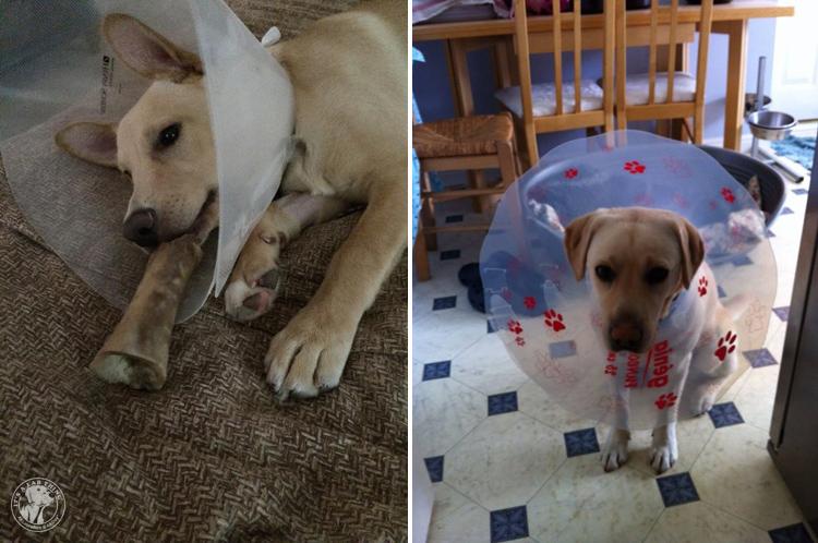 Cone of Shame Labrador Retrievers Cone heads (10)