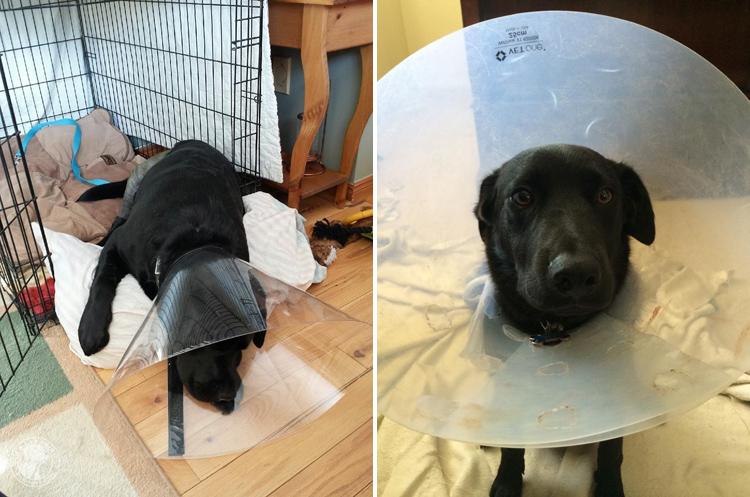 Cone of Shame Labrador Retrievers Cone heads (12)