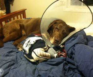 Cone of Shame Labradors