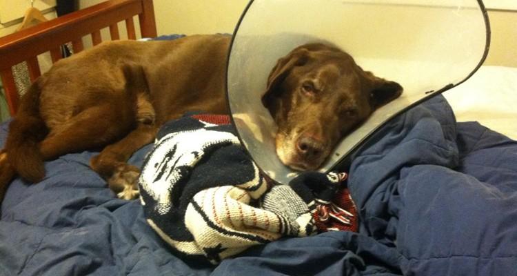 Cone of Shame Labrador Retrievers Cone heads (13)