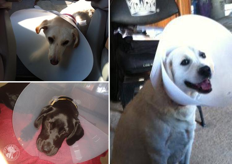 Cone of Shame Labrador Retrievers Cone heads (15)
