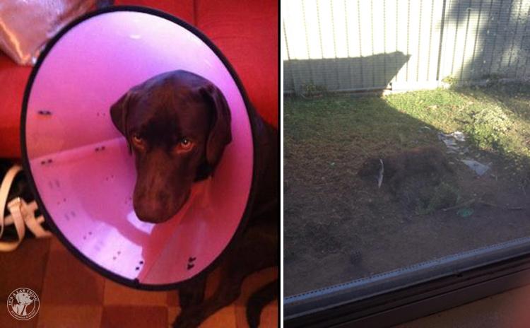 Cone of Shame Labrador Retrievers Cone heads (16)