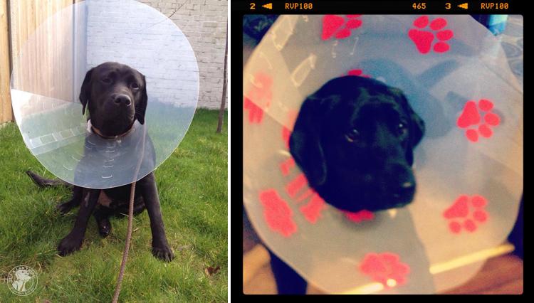 Cone of Shame Labrador Retrievers Cone heads (17)