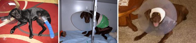 Cone of Shame Labrador Retrievers Cone heads (18)