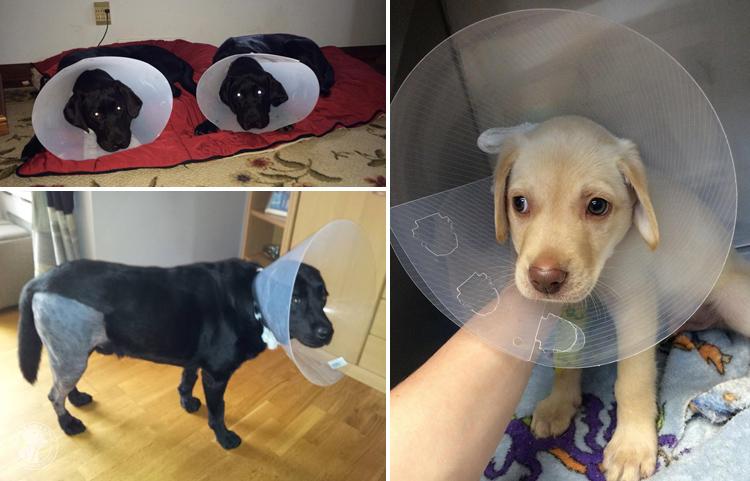 Cone of Shame Labrador Retrievers Cone heads (3)