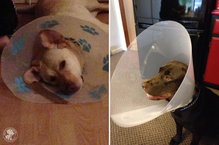 Cone of Shame Labrador Retrievers Cone heads (4)