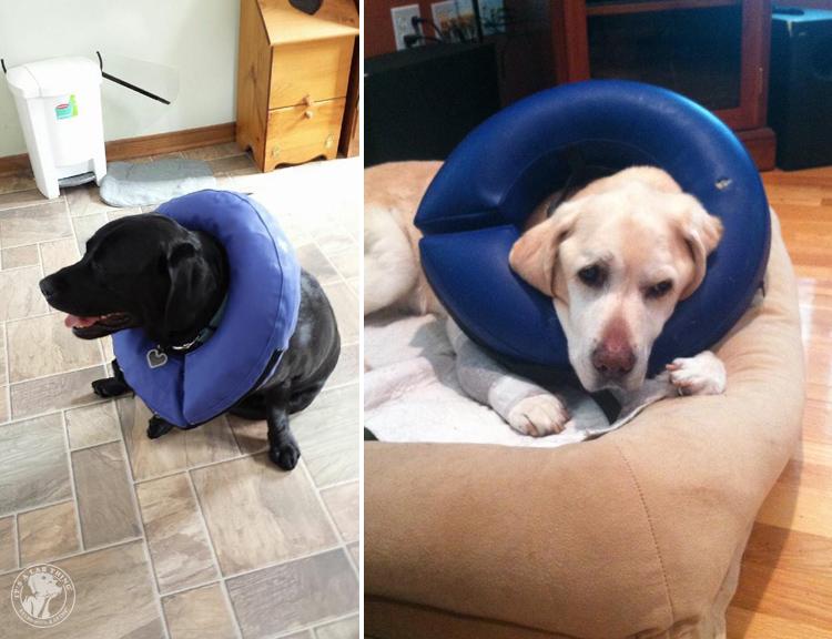Cone of Shame Labrador Retrievers Cone heads (5)